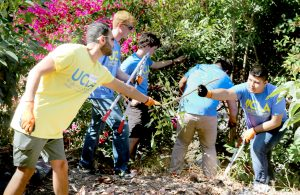 Ricardo Quintero, left, UCLA Luskin's interim director of development, works with UCLA students to clear weeds at Wattles Farm. Photo by George Foulsham