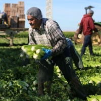 image of older man picking celery in a field with other workers in the background